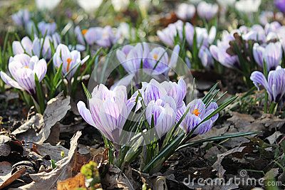 Crocus flowers among the oak leaves