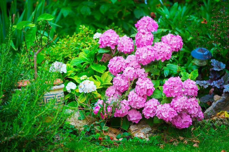 Hortensja ogrodowa, fot. shutterstock, pixabay #rośliny #kwiat #gatunki #ogrody #ogród #kwiatki #roślinność #natura #tapeta #łąka #flower #impianto #fiore #bello #rosa #colore #fragrante #nature #flowers #green #colorful #wallpaper #photos #pretty #hortensja