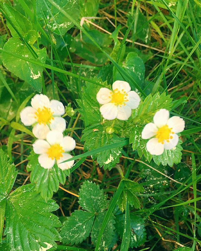 #wildstrawberry#ahomansikka#kukinto#blooming#