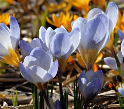Crocus Blue Pearl - bulbs and forcing them