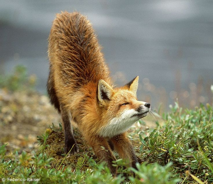 Red Fox Animal Face