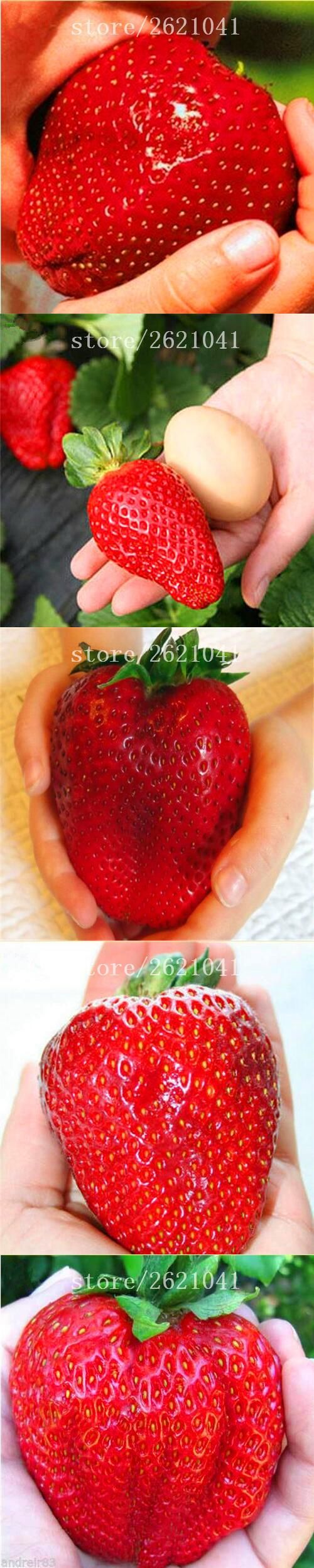 1000 PCS Big Giant Strawberry Seeds, Rare Sweet Four-season vegetable and fruit Seeds, Garden plants