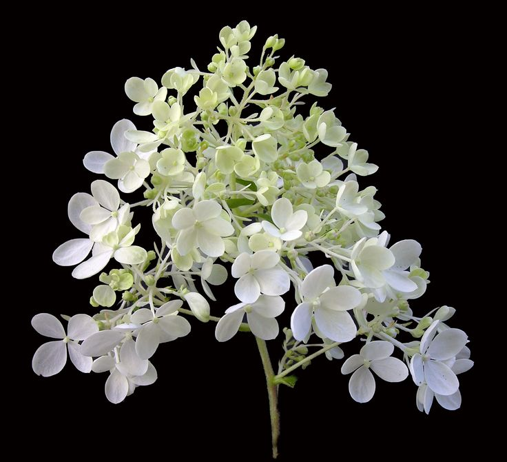 Hydrangea paniculata 'Bombshell'. The large (110mm) irregular panicle opens white and ages to pink.