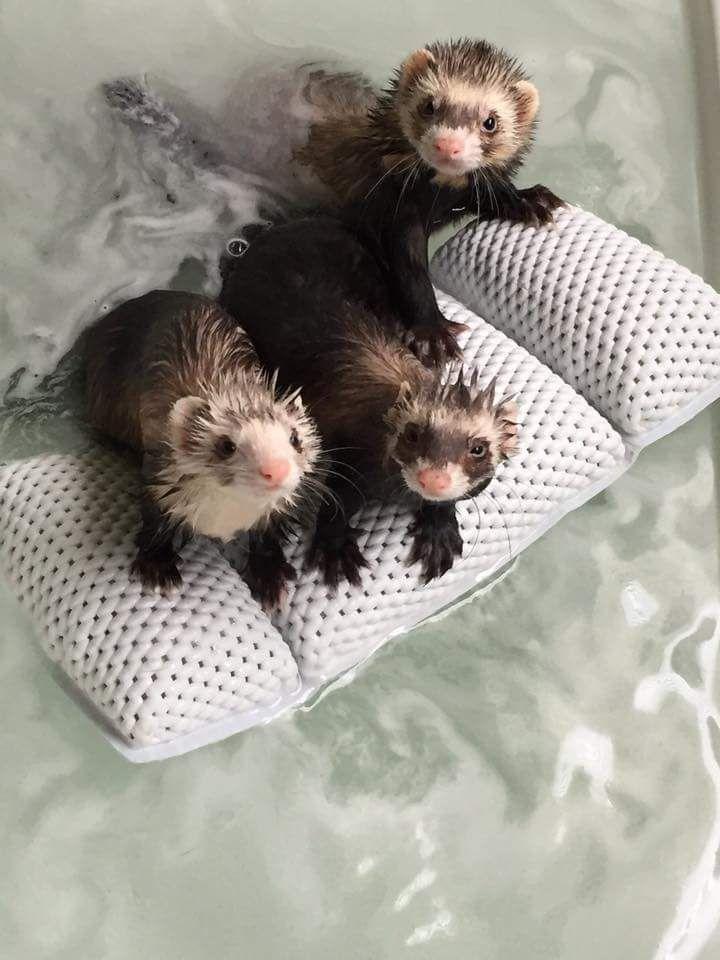 25 Best Ideas About Ferrets On Pinterest Pet Ferret