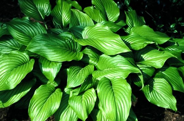 Hosta plantaginea var. japonica 				(Chinese species)