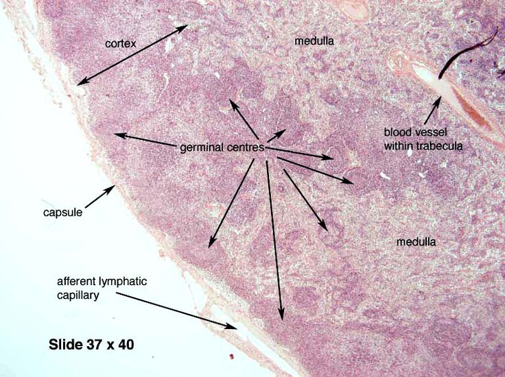 52 best Histology - Lymphatic System and Immunity images ...
