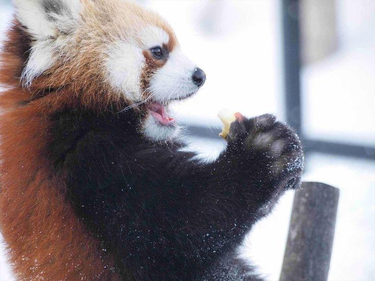 New Gallery - The Rare Red Panda https://www.watchingpixels.com/gallery/red-panda/