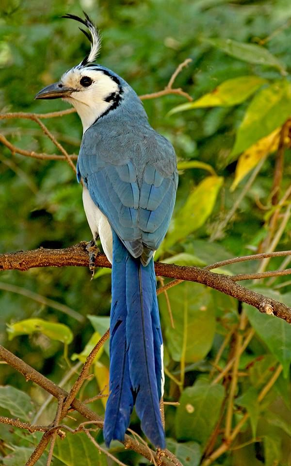 The White-throated Magpie-Jay is an unmistakable and quite approachable bird that occurs from Mexico to Costa Rica. Photographed at Playa Grande on Guanacaste Peninsula in Costa Rica by Frank Thierfelder