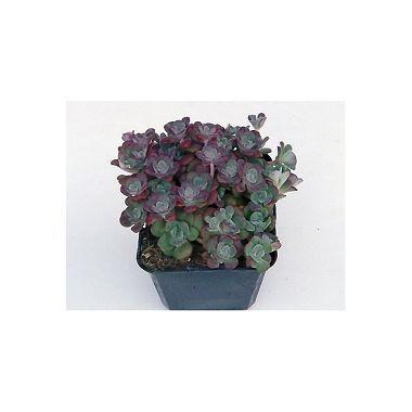 Sedum spatulifolium Purpureum *1