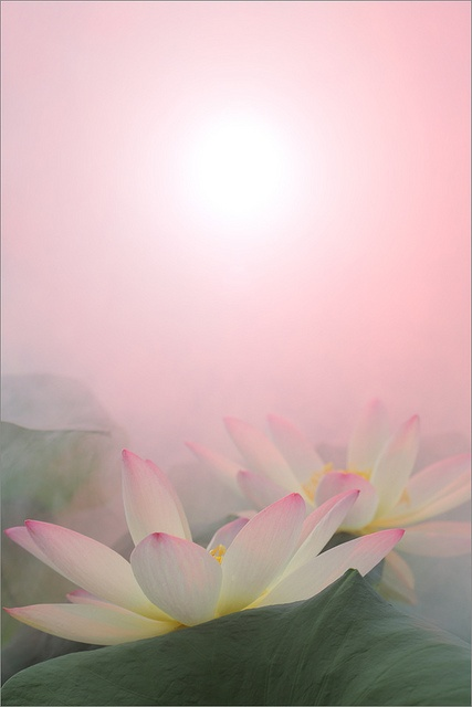 White Lotus flower Surreal Series -  DD0A9526-1-1000 by Bahman Farzad, via Flickr