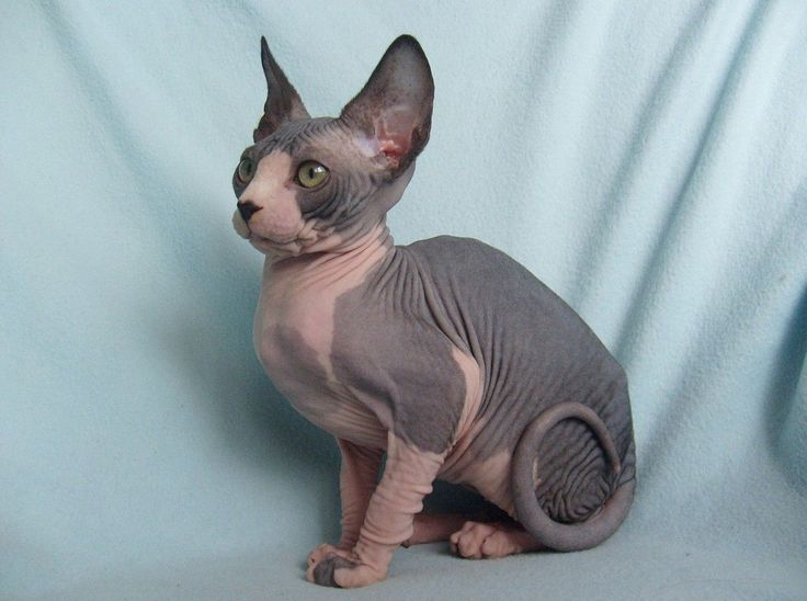 Sphynx, hairless cat, cat photography
