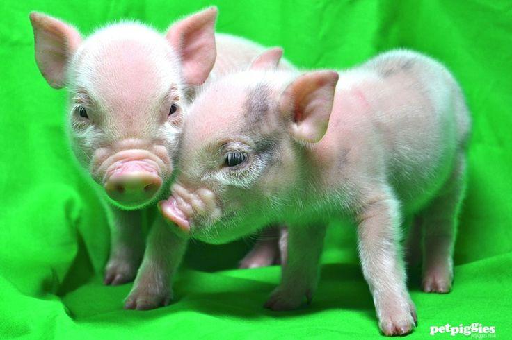 Pink Mini Pig BabiesPink Mini Pigs