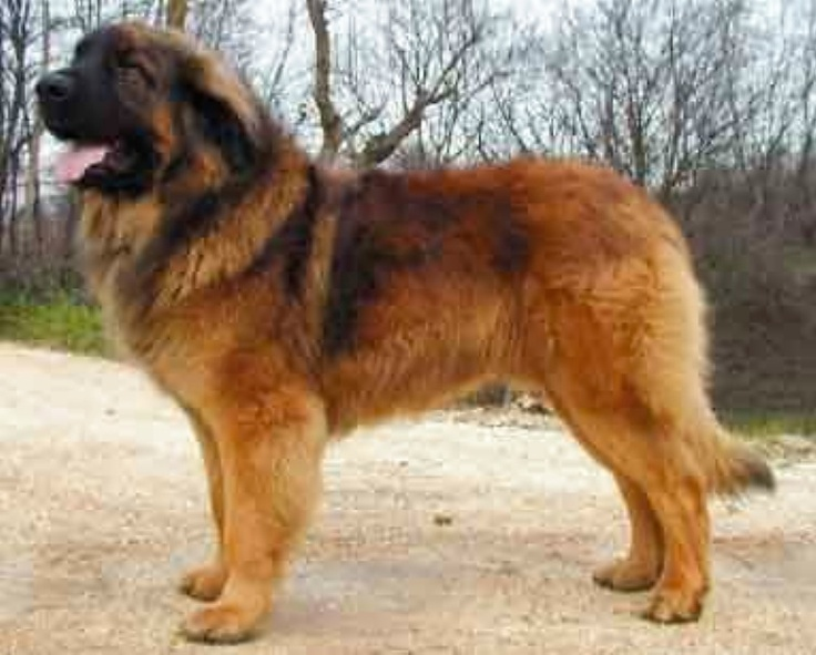 Leonberger | Bigger Breed Puppies/Dogs | Pinterest