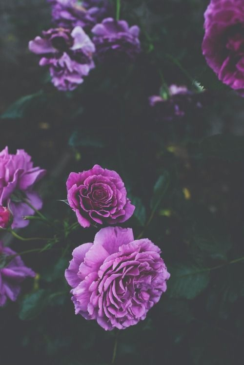 Roses Flowers Tumblr Floral Wallpaper Iphone Purple Flowers Wallpaper Rose Wallpaper