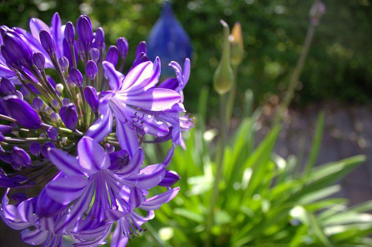 Purple on a summerday