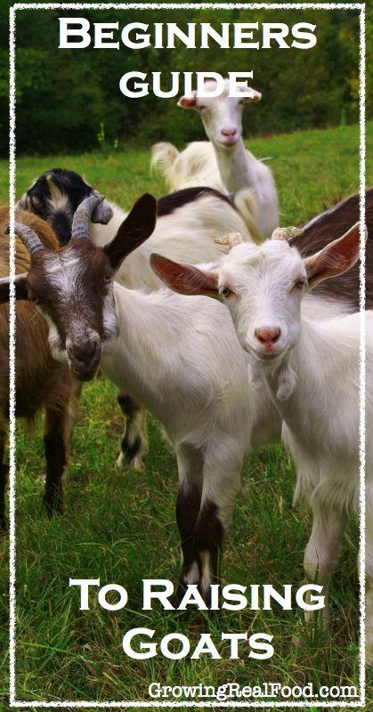 Beginners Guide To Raising Goats |  #homesteading #goats