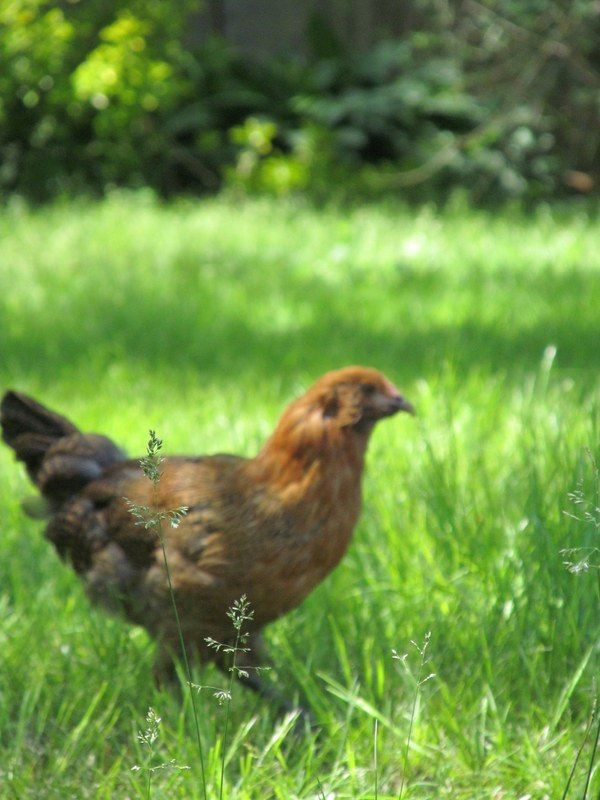 how to keep backyard chickens