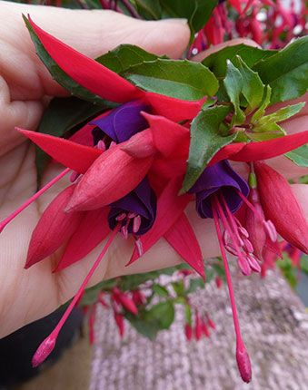 Fuchsia 'Mendonoma Belle' is 6' x 4', mite-resistant, and blooms 12 months in mild climates.
