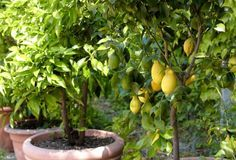 Árvore frutífera dentro do apê é possível, basta apenas conhecimento na hora de escolher a espécie correta. Veja aqui na Dona Flor Nutrientes para Plantas.