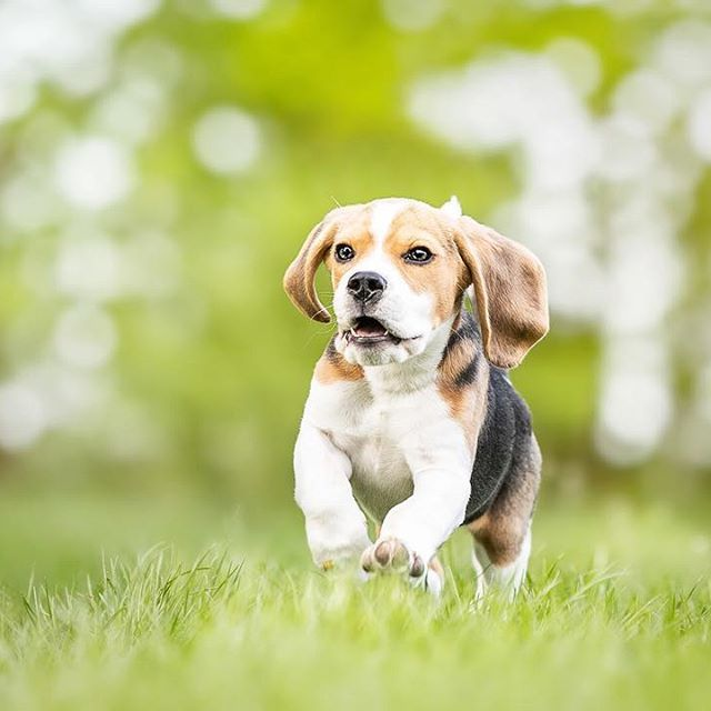 Beagle Welpe Ares In Action Actionfotos Deines Hundes Sind Immer Eine Gute Idee Hundefotografie Potsdam Von Sophia Zoike P Hundewelpen Hundefotografie Welpen