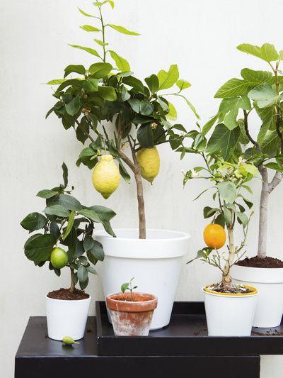 Zitrusbaum – Pflanzenfreude.de
