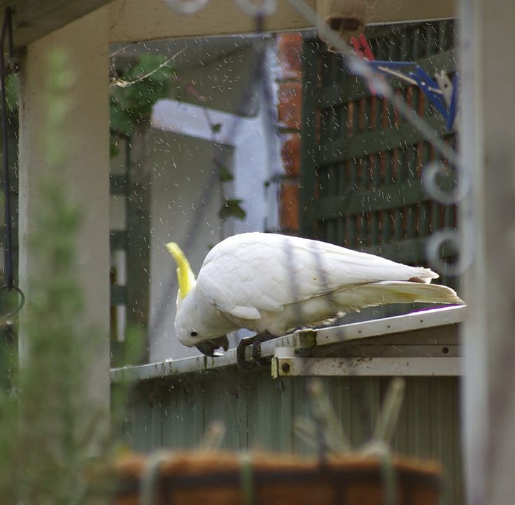 Visitors to my garden 3. Sulphur crested cockatoo having a drink as the rain falls