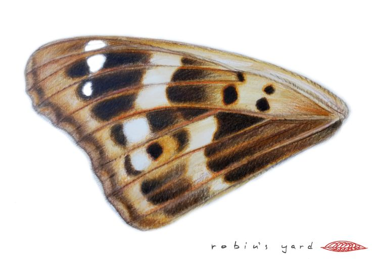 Apatura metis (Freyer's Purple Emperor) forewing upperside without purple iridescence (watercolor and color pencils, 14,8x21cm)