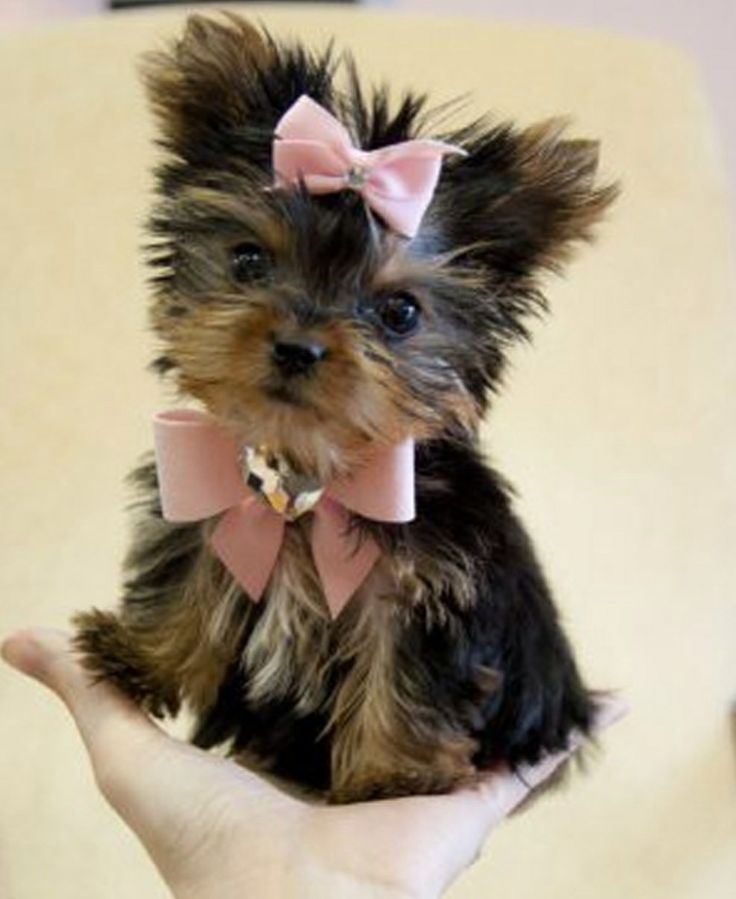 Cute little teacup yorkie