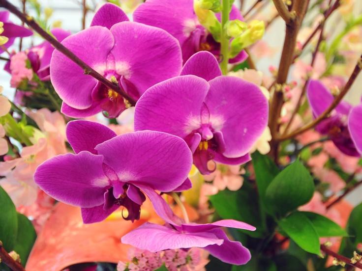 胡蝶蘭 学名:Phalaenopsis、英語:moth orchid