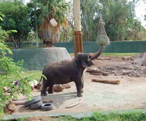 enrichment issues in animals andean bear and asian elephant Asian myrmecology, 7  proceedings of the invasive animals crc  (2017) leaf-level photosynthetic capacity in lowland amazonian and high-elevation andean.