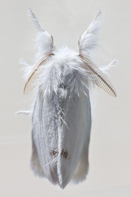 White Brown Tail ~ Euproctis chrysorrhoea ~ Moth
