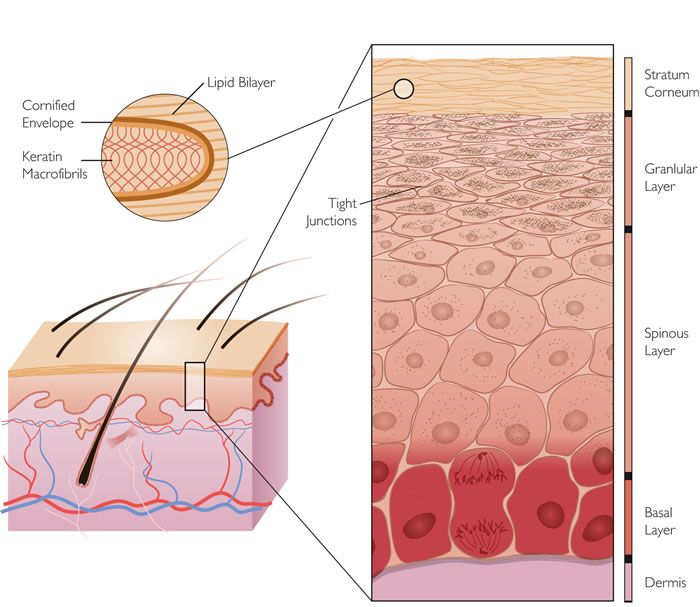 95 best dermatology images on pinterest medical science nurses skin images stratum cornerum granular layer spinous layer basal layer ccuart Image collections