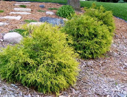 Descriptions of small evergreen shrubs - perfect for foundation plantings
