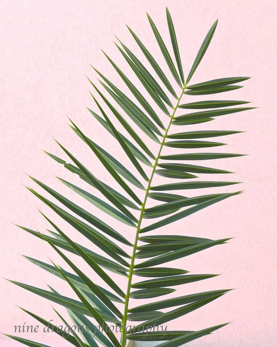 Palm tree frond in close up detail. Suits clean, modern minimalist decor in tropical green pink (1st & 2nd photos), natural color (3rd photo) or black & white (4th photo). Make your selection at checkout. Additional Sizes & Canvas Wraps available below. More Nature, Landscape Photography & Tropical Prints: https://www.etsy.com/shop/ninedragons?section_id=12261368  DETAILS: Title: Palm Frond #1 Image Size: 5x5, 5x7, 8x8, 8x10, 12x12, 11x14, 16x16, 16x20...