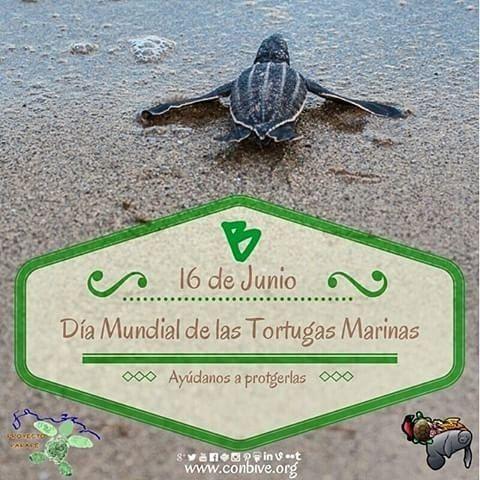 16 de junio. Día Mundial de las Tortugas Marinas.  Un día para pensar en todo lo que estamos haciendo  que afecta a las tortugas y todo lo que estamos dejando de hacer por su conservación.  Las tortugas marinas no sólo son hermosas también son fundamentales para el equilibrio ecológico en los ecosistemas.  Esta efeméride se conmemora el nacimiento de Archie Carr el padre de la conservación de las tortugas marinas.  Carey cardón verde cabezona maní... con acciones simples tú puedes hacer…