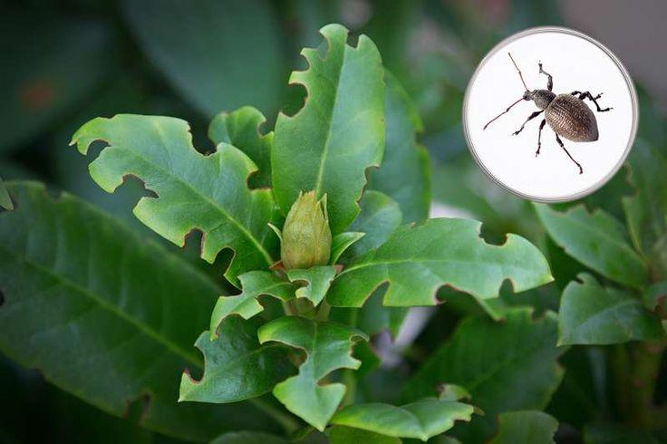 Choroby rododendronów - jak sobie radzić?