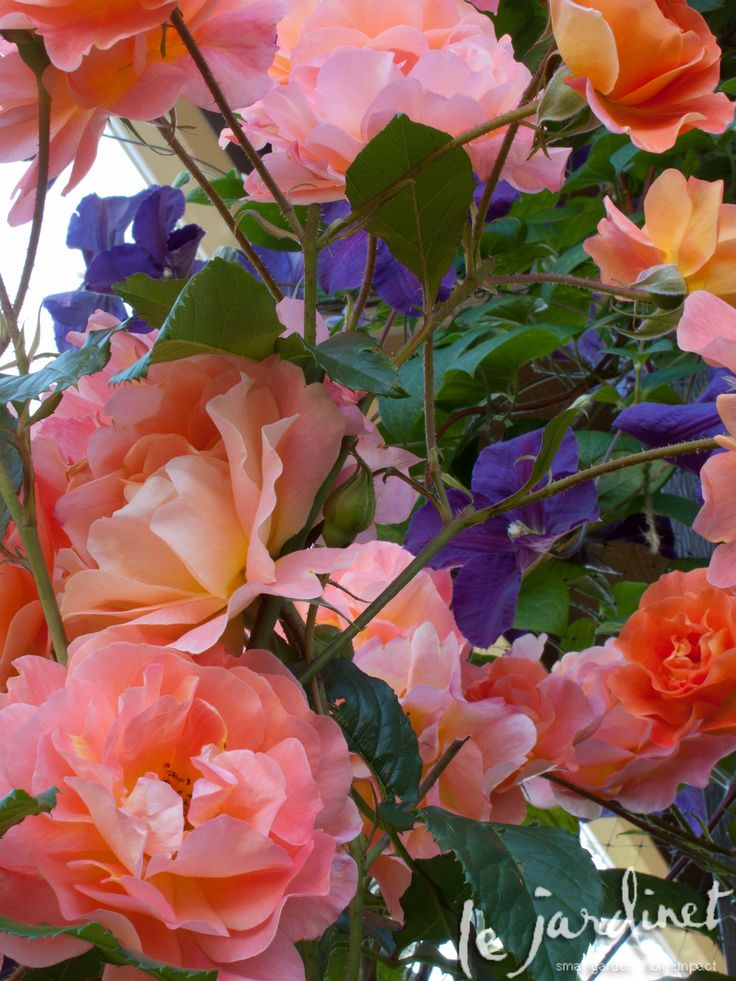 Westerland rose is an outstanding climber. Seen here with Clematis 'Jackmanii superba' scrambling through it loooove <3