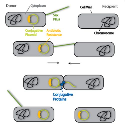 Bacteria Reproduction- Conjugation