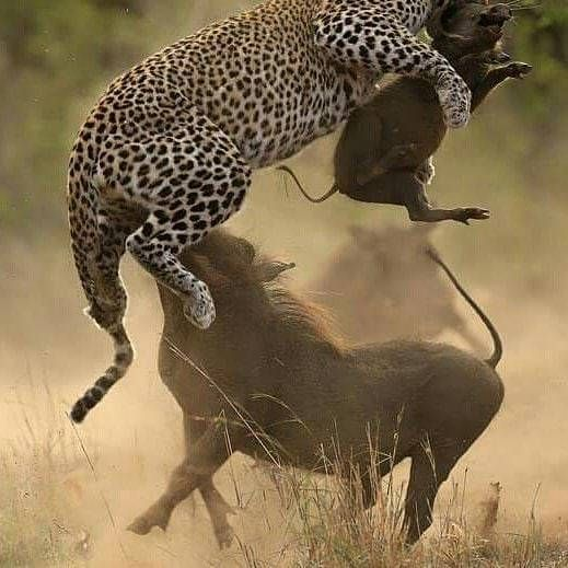 . Photo by @lovejoy_kisali The baby warthog was not strong enough to run away from the Leopard. The Leopard ambushes the Warthog & then attacks. However the Warthog puts up a fight. #leopard #hunt...