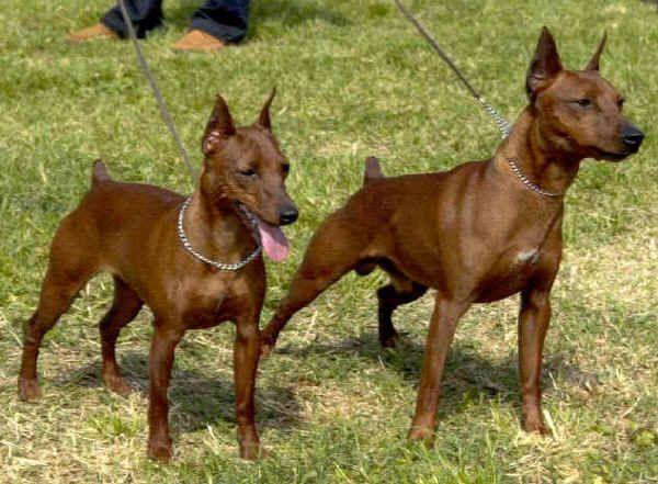 M s de 25 ideas incre bles sobre perros pinscher miniatura for Pinscher medio