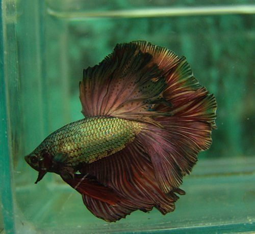 Really like this Copper HM betta