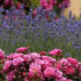 Flower Carpet Pink Groundcover Rose