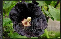 Schwarze Pflanzen, schwarze Blumen /Blüten + schwarze Rosen