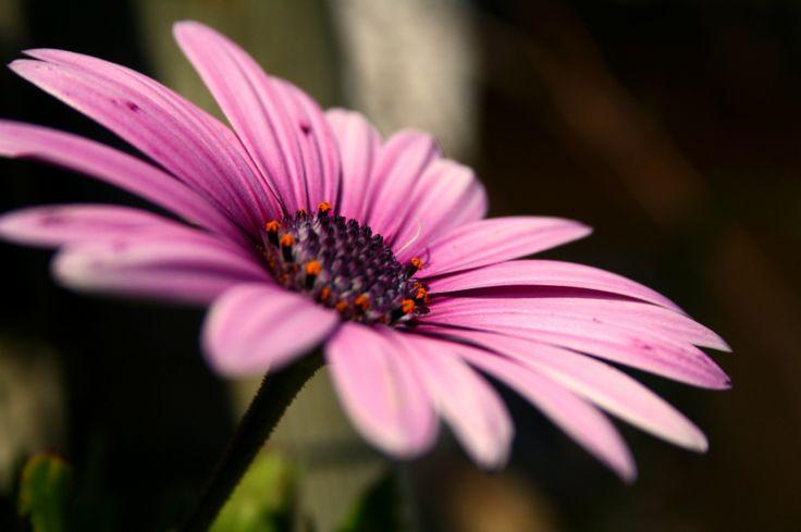 Daisy. Pink.