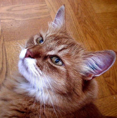 Tratamento para um gato adulto que não é capaz de tossir bolas de pelo   eHow Brasil