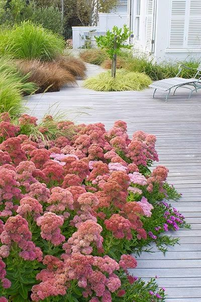 Autumn Joy Sedum, not used to seeing these in mass. Just learned that they love to grow in gravel, don't like clay.