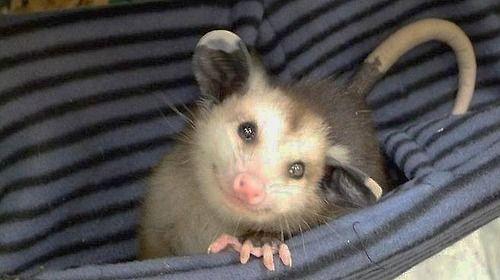 Avocado, LA Wildlife's Newest, Cutest Ambassador. Happy little possum!