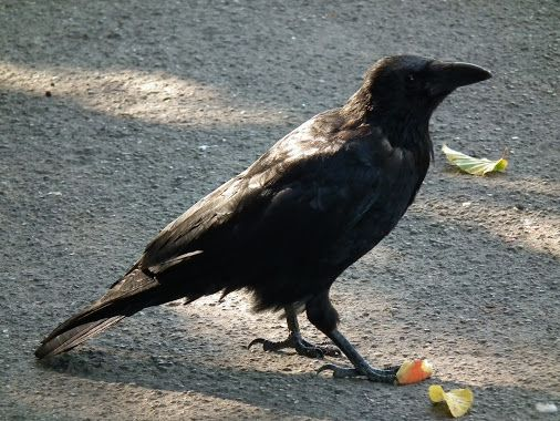 Crows demand Equal Pay for Equal Work