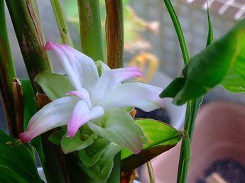 Come coltivare la curcuma: una guida utile