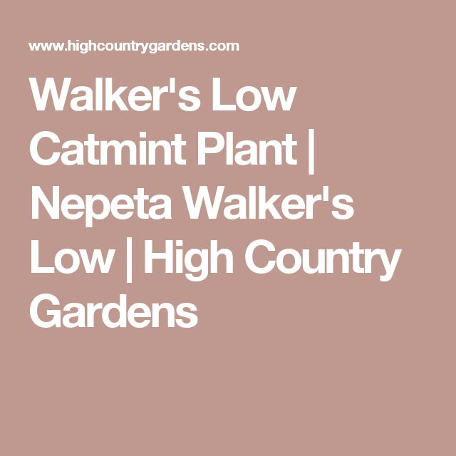 Walker's Low Catmint Plant | Nepeta Walker's Low | High Country Gardens
